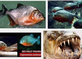 Ini Dia Ganasnya Ikan Piranha yang Makan Manusia