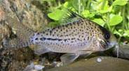 Jenis Ikan Corydoras orphnopterus