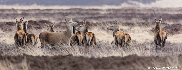 Two second year brockets with a group of hinds and yearling calves, as if practicing their duties as stags to come.