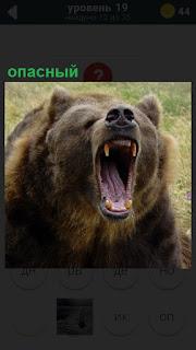 Опасный медведь широко открыл свою пасть, показывая острые клыки