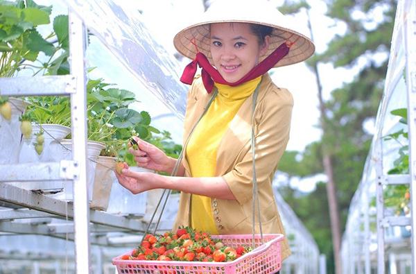 Tận tay được hái dâu tây tại vườn ở Đà Lạt là một trải nghiệm
