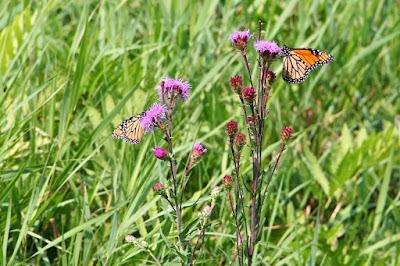 August monarchs