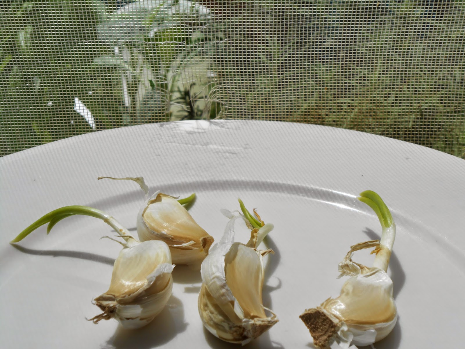 GARLIC: Regrow greens and vegetables from kitchen scraps