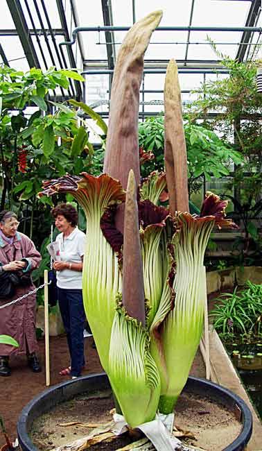 Elephant Yam Or Pongapong Flower