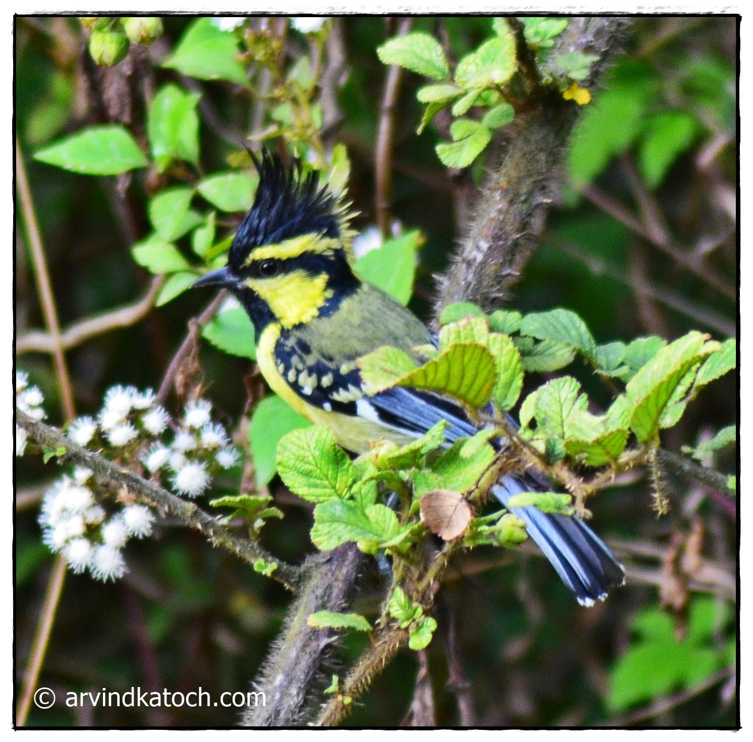 Himalayan Black-lored Tit, Himalayan Bird,