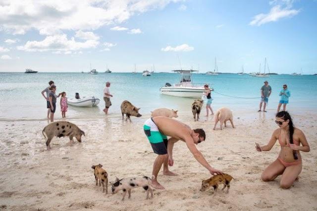 Khám phá thiên đường dành cho lợn ở Bahamas
