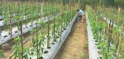 pemupukan cabe fase vegetatif