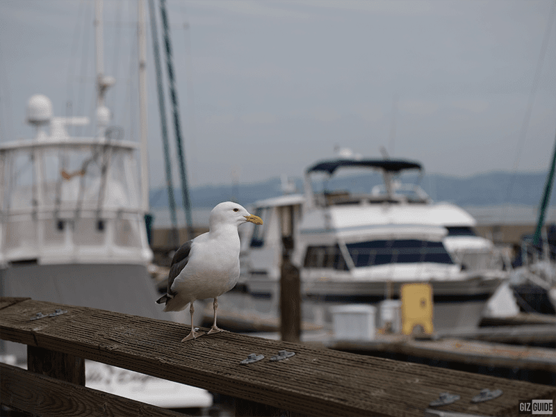 Full size - Fisherman's Wharf seagull