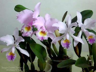Orquídeas Cattleya em semi-hidroponia