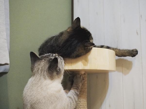 キジトラ猫のところに現れたシャムトラ猫