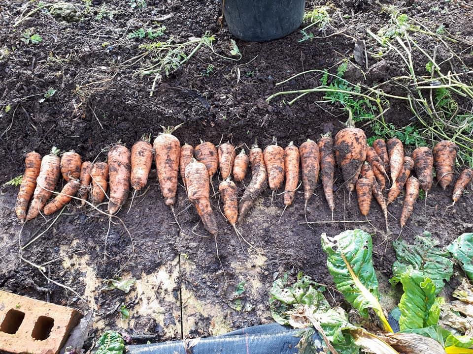 An English Homestead: Selecting Carrots For Seed Saving