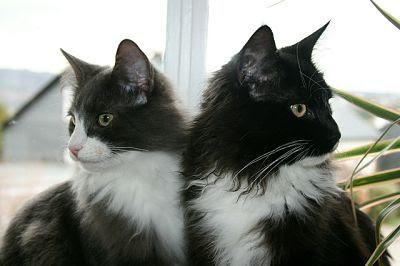 Gatos de pelo