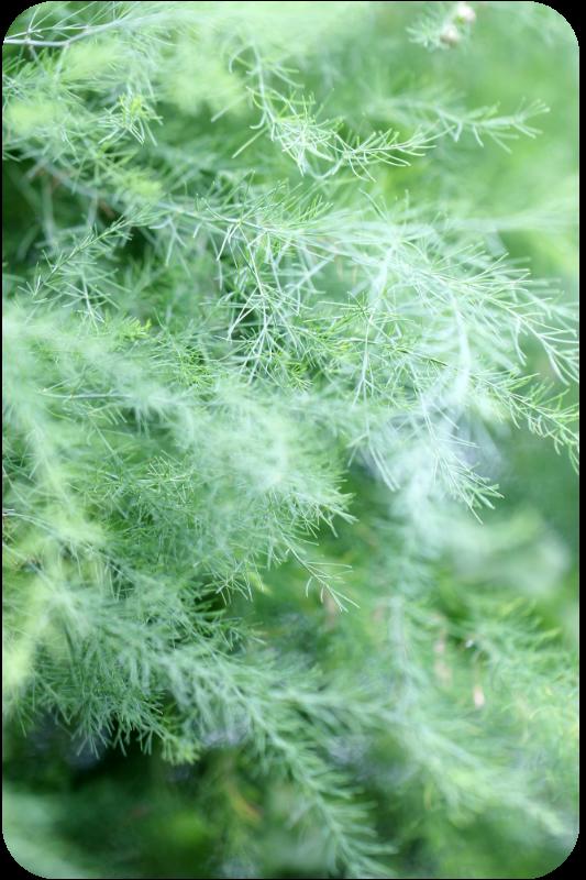 Spargelkraut. Spargel im August - im Spargelfeld | Arthurs Tochter Kocht von Astrid Paul