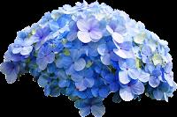 Hortênsia azul png