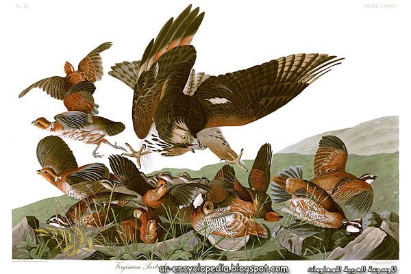John James Audubons Plate 76   Birds of America 2528Virginian Partridge2529