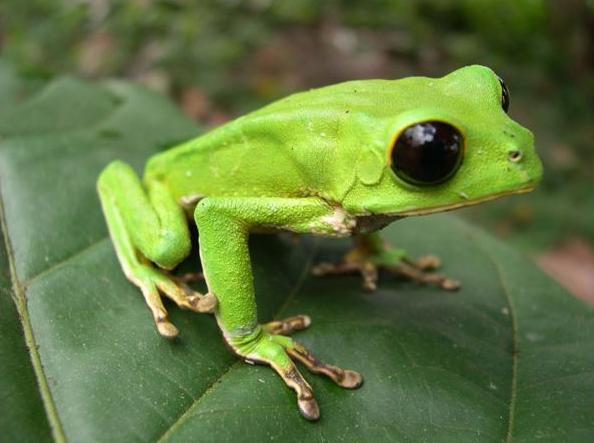 Risultati immagini per anfibi dell'amazzonia