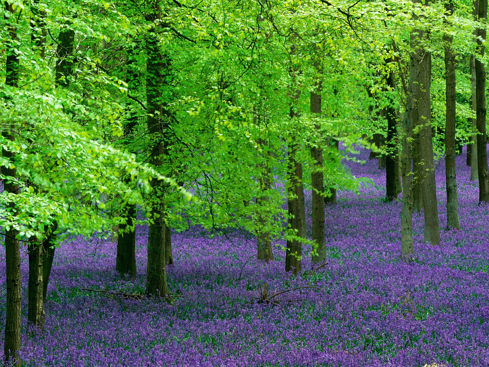 trees woods tree depths forest nature pretty beauty rainforest most purple flowers lovely wood together tribute spring gorgeous stunning woodland