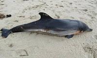 Νεκρό και άλλο ένα δελφίνι στην Κορινθία