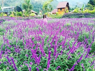Mùa hoa oải hương ở thung lũng Bắc Hà  3