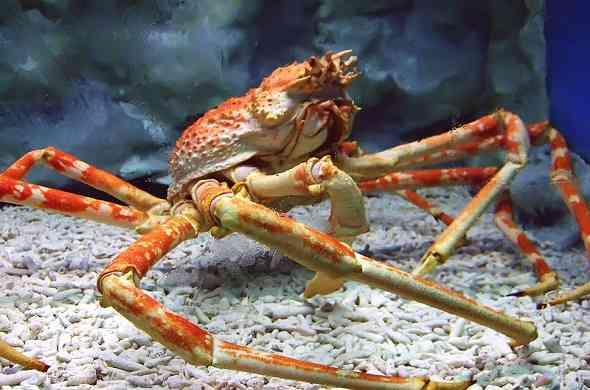 japanese-spider-crab-السلطعون-العنكبوت-الياباني
