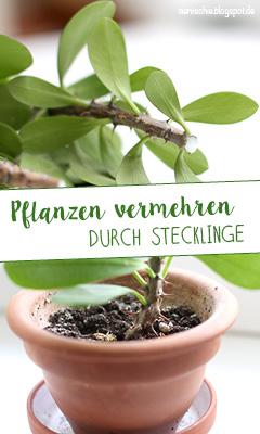http://aentschie.blogspot.de/2014/10/urban-jungle-pflanzen-vermehren-durch.html