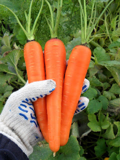 Молодая морковь Самсон