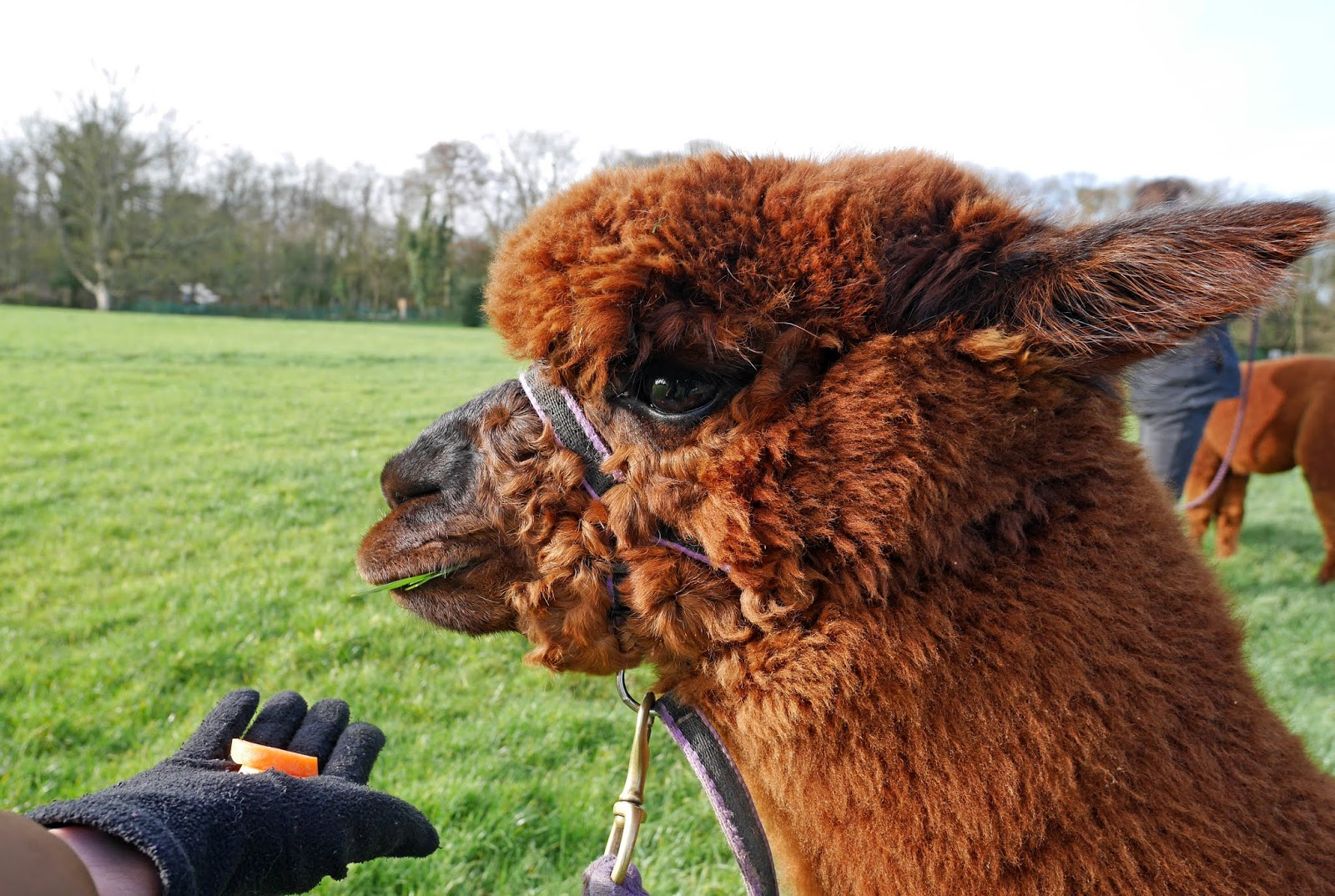 Alvin the alpaca at Quex Park in Birchington, Kent