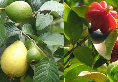 Pesquisa comprova que chá de folhas de goiaba e pitanga reduzem cicatrização em  40%