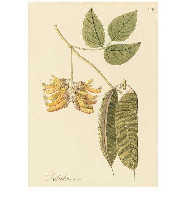 A botanical painting of Dolichos urens