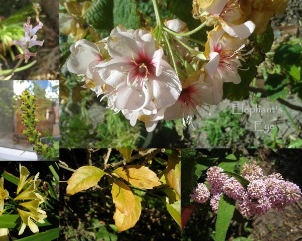 Lachenalia, Dombeya wild orchid Clivia, fiddlewood, Buddleja