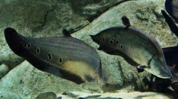 ikan hias belida