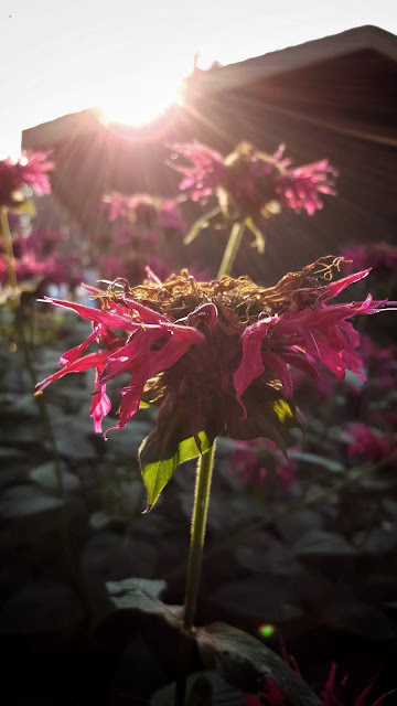 Bee Balm with setting sun back lighting it.