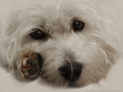 Close-up of White West Highland Terrier's face