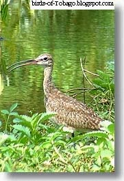 Whimbrel (Numenius phaeopus) wetland birds
