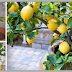 Detailed Instructions On How To Grow A Lemon Tree From Seed Easily In Your Own Home