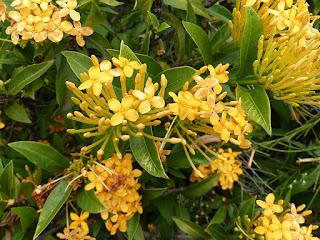 Ixore jaune - Ixora jaune - Ixora coccinea jaune
