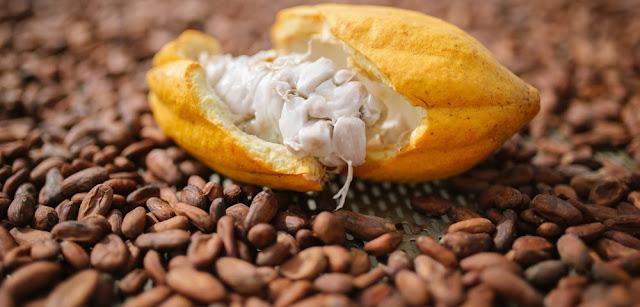 fruto-cacau-matéria-prima-chocolate