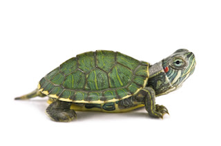 how to know turtle is male or female