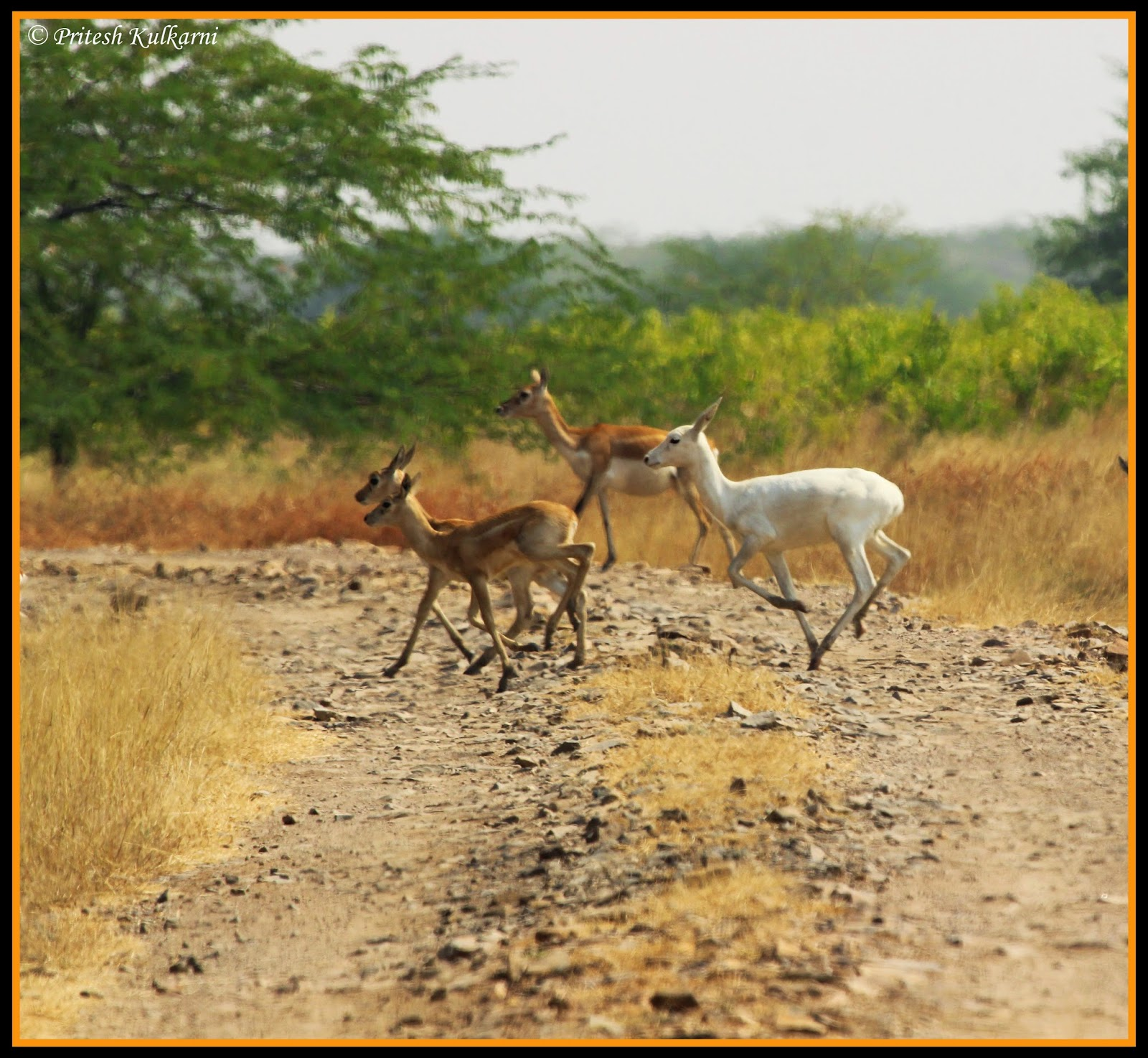 Albino Blackbuck