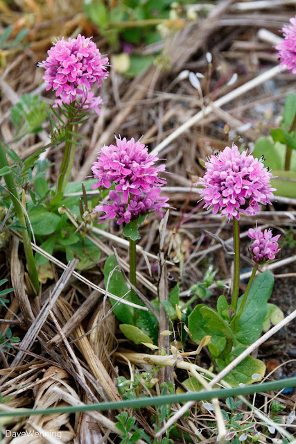Sea Blush (Plectritis congesta)