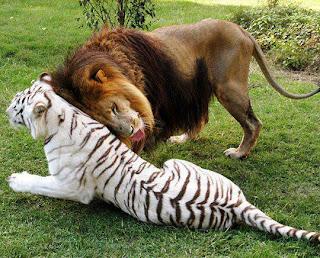 León y Tigre Blanco