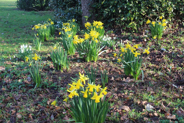The earliest daffodils this year