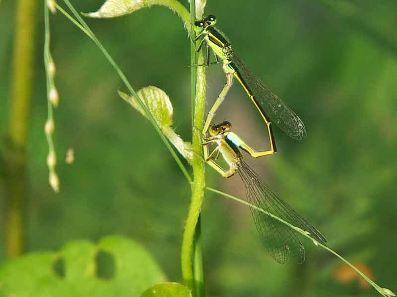 Male and female damselfly mating