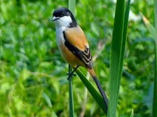 Burung Cendet - Mempercepat Peoses Kawin Burung Cendet dan Asumsi Pemberian Pakan Burung Cendet - Penangkaran Burung Cendet
