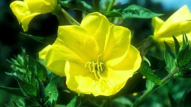 Kebesaran Allah: Bunga Ini Bermekaran Ketika Adzan Berkumandang