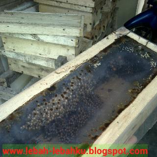 ternak lebah klanceng madu