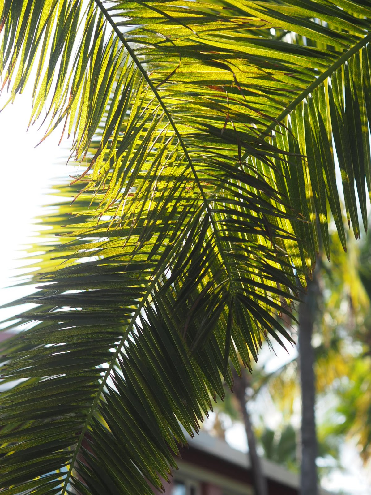 Crossed Palm Leaves with Sun behind creating shadows