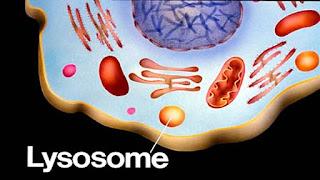 le lysosome
