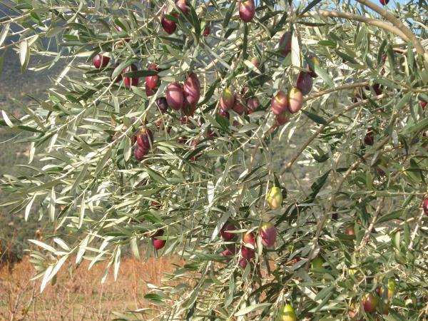 """""""ΟΡΧΑΣ ΕΛΑΙΑ"""" ή Δαμασκηνοελιά: Αρχαία ελληνική ποικιλία ελιάς αναβιώνει στην Αργολίδα (βίντεο)"""