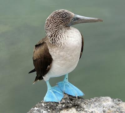 Imagen ave con patas azules